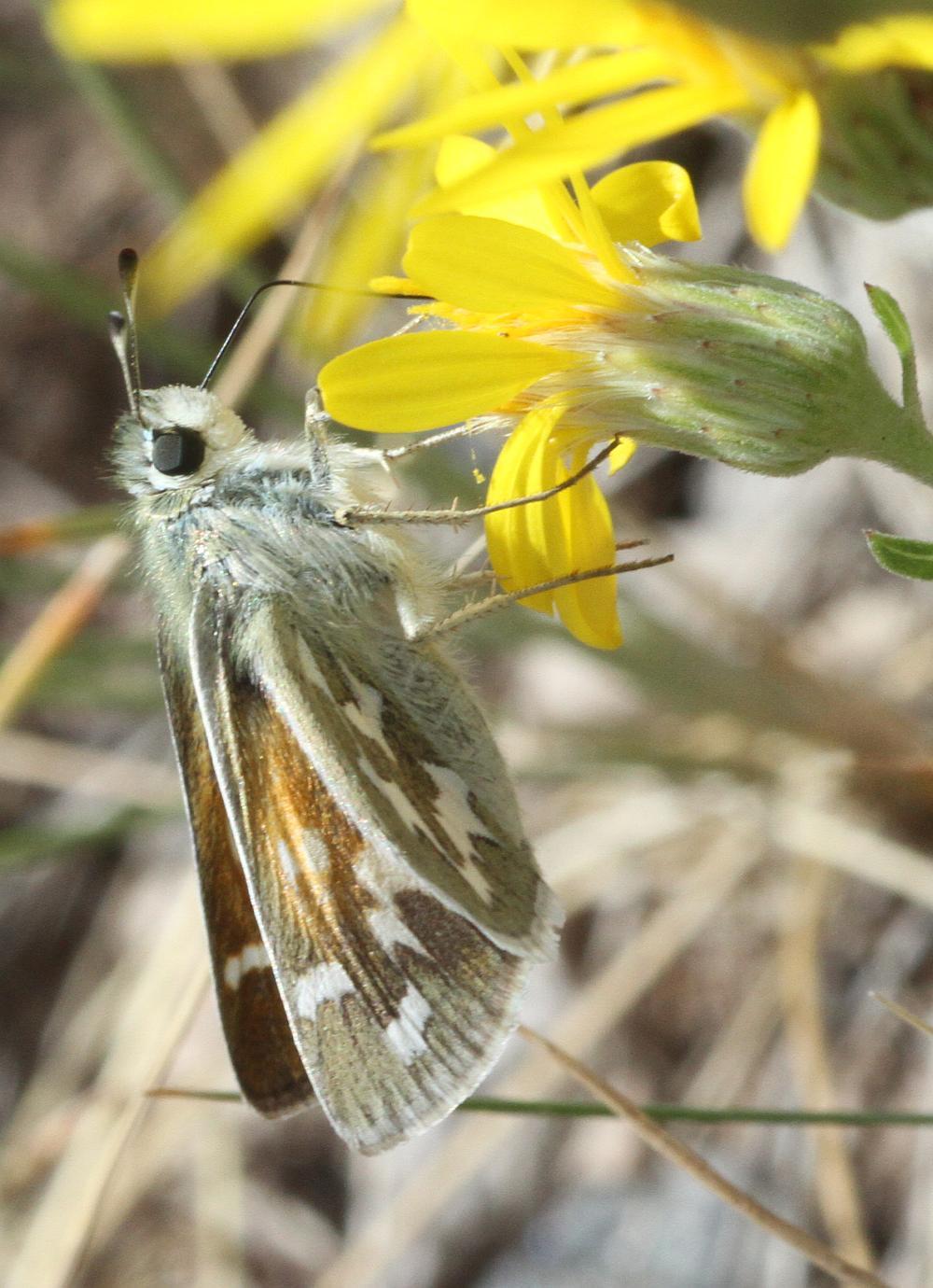 Hesperia Lidia Butterfly