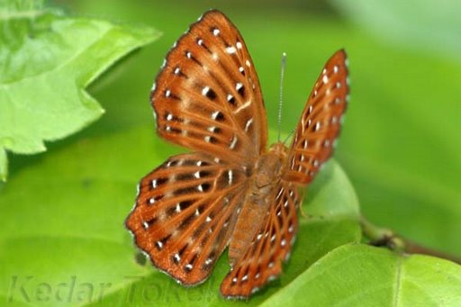 All (in this database) Lepidoptera Photolist (with English common