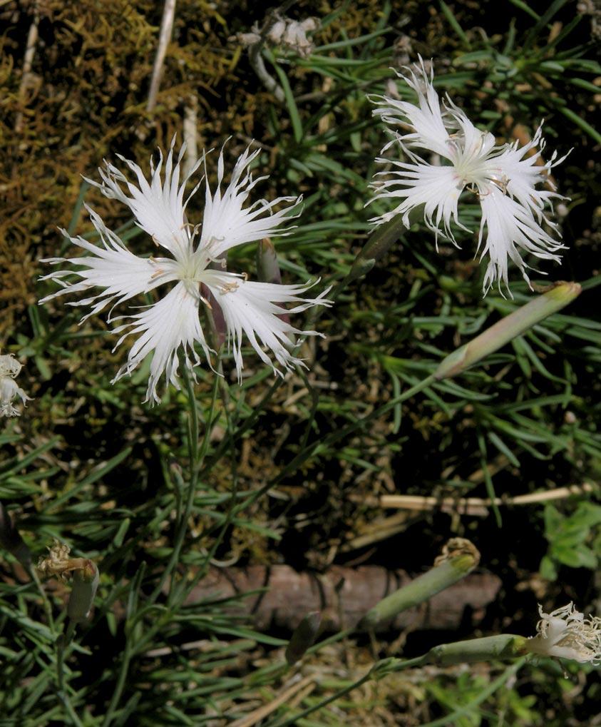 semenovic