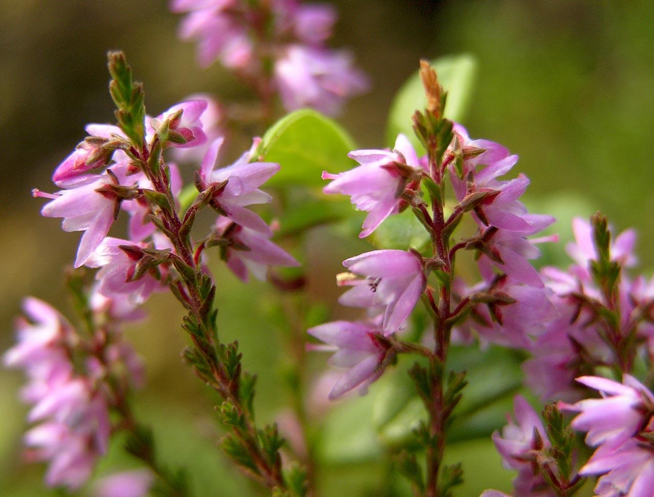 Calluna for Calluna vulgaris